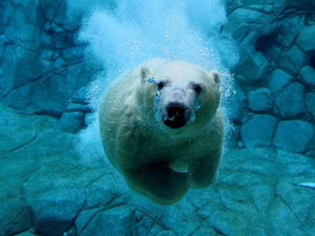Medvěd pod vodou