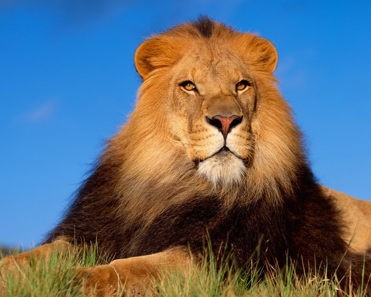 Vsledek obrzku pro lev